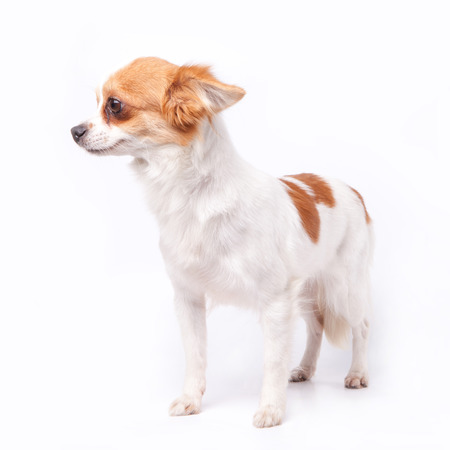 scaring: chihuahua scaring or fear of someone or something