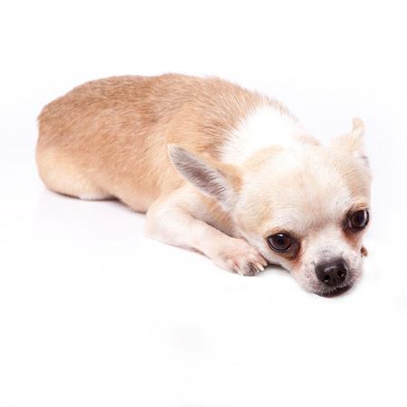 fearing: white chihuahua lie down