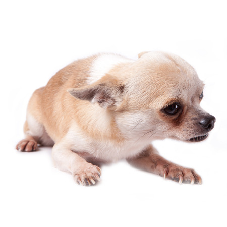 fearing: white chihuahua scaring with ear hiding