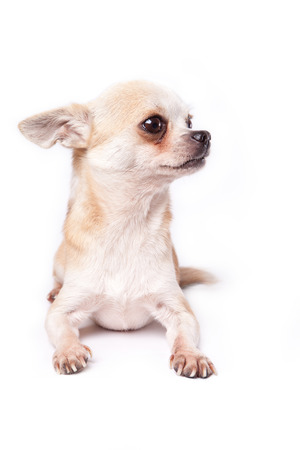 fearing: chihuahua listen to something