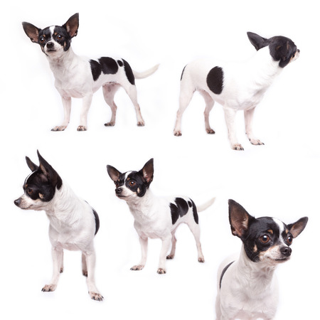 Cute purebred chihuahua in front of white  photo