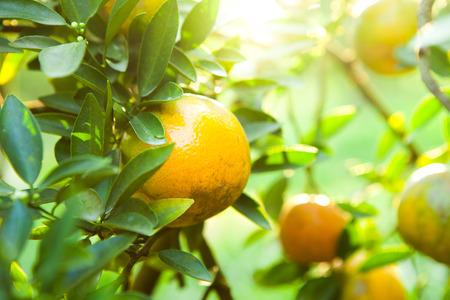 Sinaasappelen op boom met bladeren