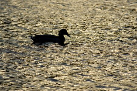 Lonely duck silhouette at sunset photo