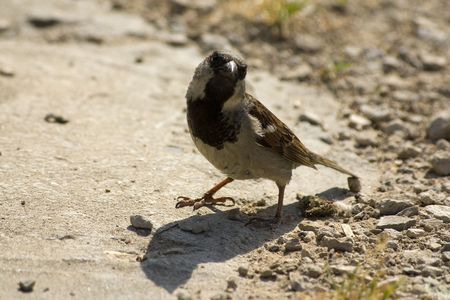 dashing: Dashing sparrow stands on the sunny street