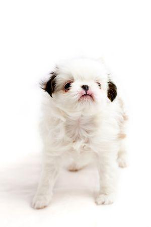 Japanese chin doggy Stock Photo - 4491752