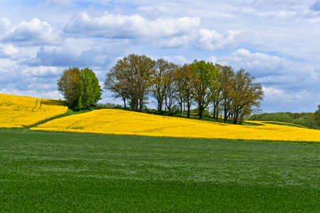 copse: Rape field and Copse
