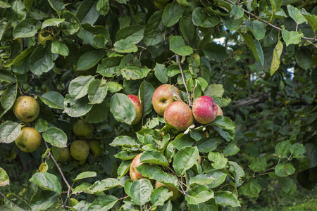 Ripe Boskop apples at a tree Stock Photo