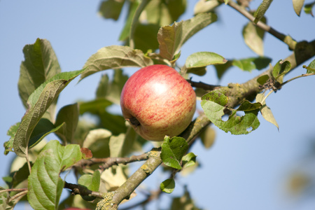 An apple at a tree
