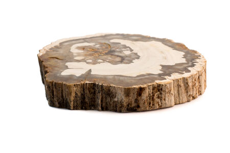 earthing: A slice of petrified wood Isolated on a white background