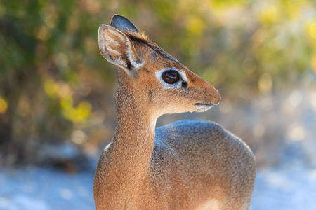 kirk: Adorable antelope, 40cm high and 3-6 kg  Staring with her big eyes