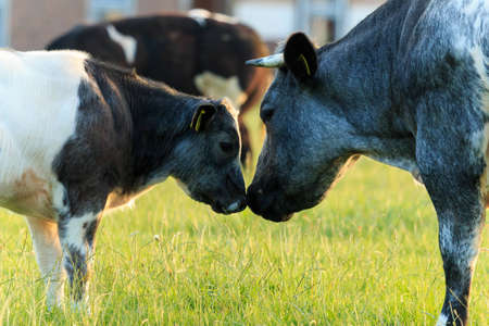 Belgian blue cows  Mother and calf showing love  photo