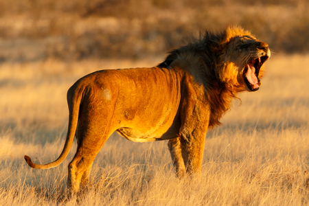 A male lion in Namibia resting after a good catch. photo