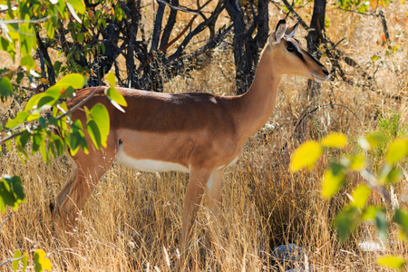 specie: Black-faced impala between grass and trees Namibia. Endangered specie Africa.