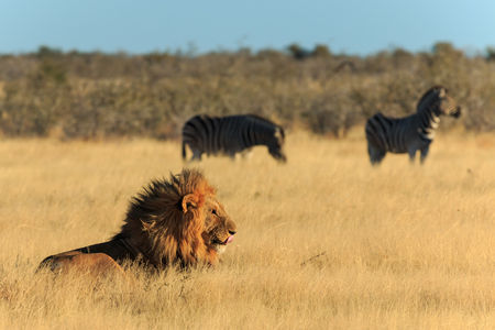 zebra head: Lion licking his mouth, zebras in background have no fear.