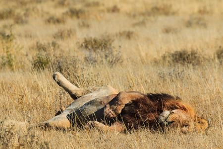 Male lion rolling and resting after a good catch. Etosha, Namibia, Africa.