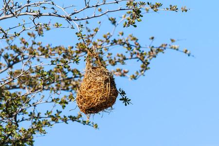 weaver bird nest: Nest weaver bird on branch of tree Namibia Africa. Special woven construction nest. Stock Photo