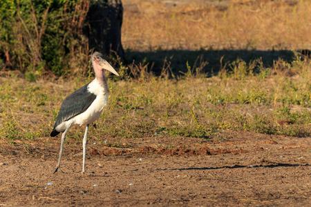 scavenger: Marabou stork walking along riverside Chobe river, Botswana, Africa. Scavenger bird. Stock Photo