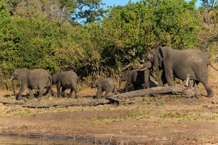 grazer: Group and baby elephant drinking river Chobe, Botswana, Africa. Safari during travel.