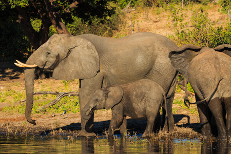 chobe: Mother and baby elephant drinking river Chobe. Botswana, Africa. Adorable and cute scene.