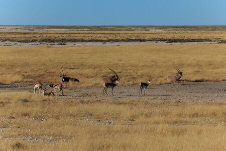 grazer: Group gemsbok, gemsbuck or oryx and impala standing in field Namib Desert Namibia Africa. Long horn big antelope.
