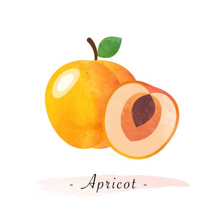 girlish: Colorful watercolor texture vector healthy fruit apricot Illustration