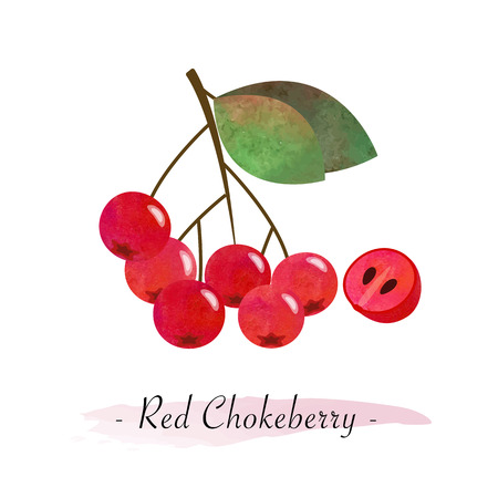 Colorful watercolor texture vector healthy fruit red chokeberry aronia berry Illustration