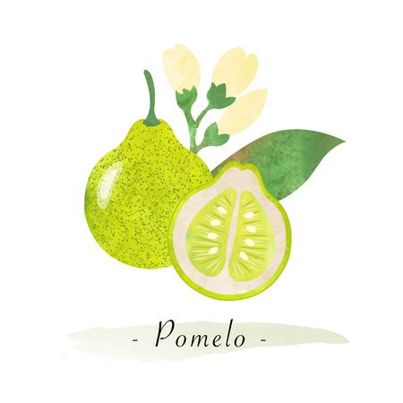 Colorful watercolor texture vector healthy fruit pomelo