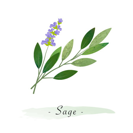 Colorful watercolor texture vector healthy vegetable sage