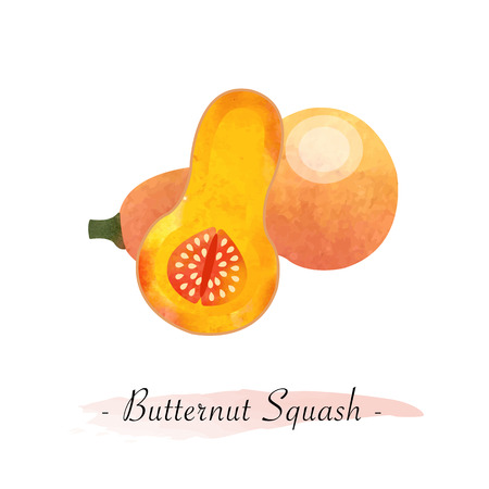 Colorful watercolor texture vector healthy vegetable butternut squash Illustration