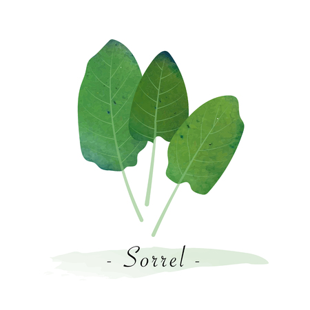 Colorful watercolor texture vector healthy vegetable sorrel