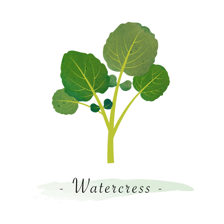 Colorful watercolor texture vector healthy vegetable watercress Illustration