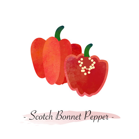 Colorful watercolor texture vector healthy vegetable red Scotch bonnet pepper