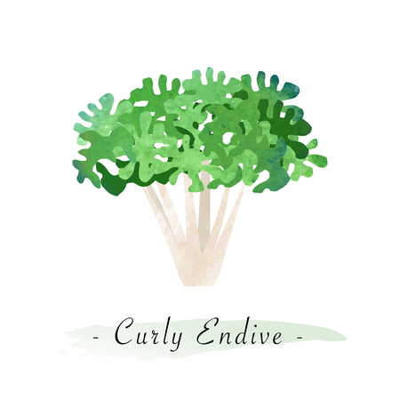 Colorful watercolor texture vector healthy vegetable curly endive