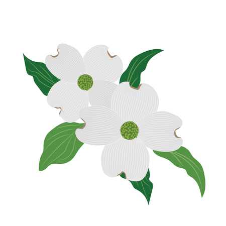 Nature flower white dogwood Cornus florida, vector botanic garden floral leaf plant.