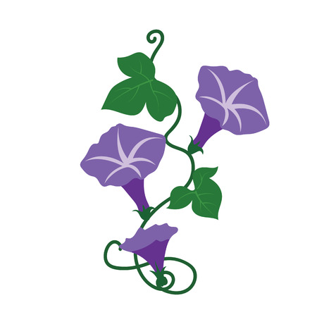 Nature flower purple morning glory flower, vector botanic garden floral leaf plant.