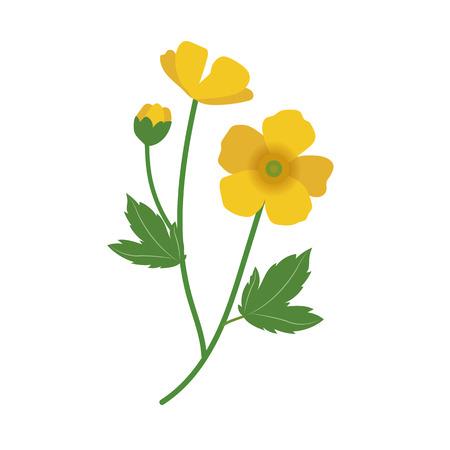 Nature flower buttercup, vector botanic garden floral leaf plant.