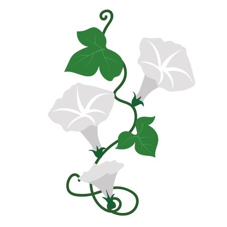 Nature flower white morning glory flower, vector botanic garden floral leaf plant.