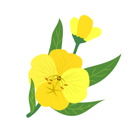 Nature flower yellow evening primrose, vector botanic garden floral leaf plant.
