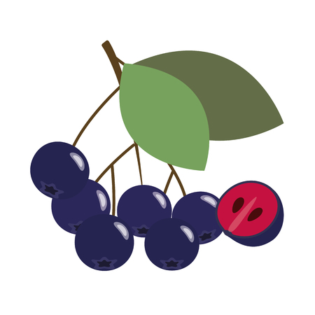 Healthy organic black chokeberry aronia berry, colorful tropical nature fresh fruit objects.