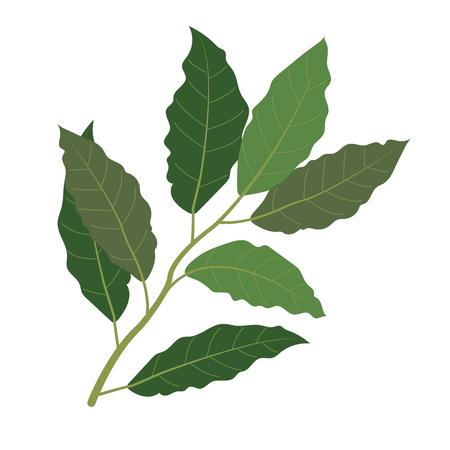 Nature organic vegetable Bay leaf, healthy vector colorful food vegetable spice ingredient.