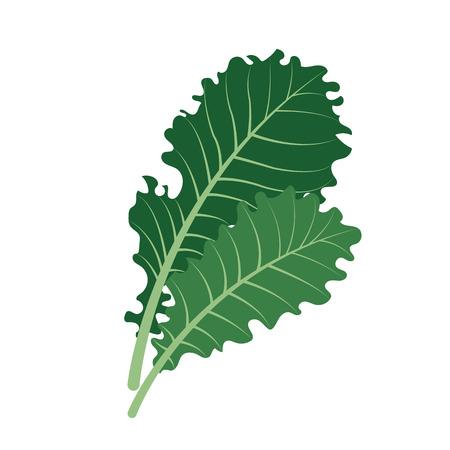Nature organic vegetable Kale, healthy vector colorful food vegetable spice ingredient. Illustration