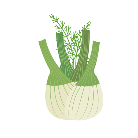 Nature organic vegetable Fennel bulb, healthy vector colorful food vegetable spice ingredient.