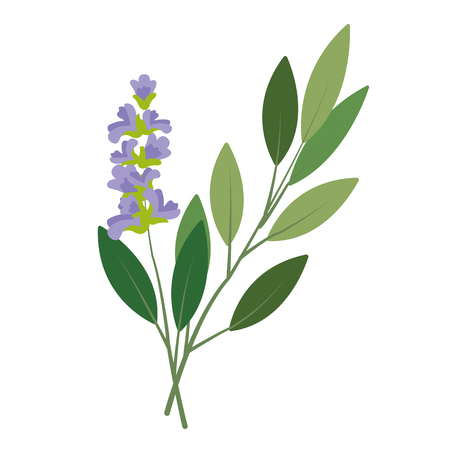 Nature organic vegetable Sage, healthy vector colorful food vegetable spice ingredient.