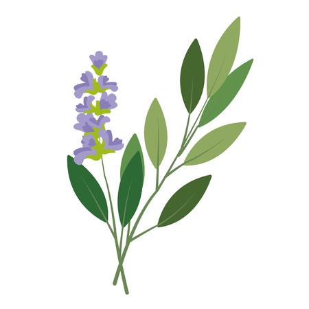 Salvia vegetale biologica di natura, ingrediente di spezie vegetali di cibo colorato di vettore sano.