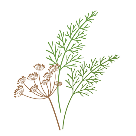 Nature organic vegetable Dill flower Fennel spice, healthy vector colorful food vegetable spice ingredient.