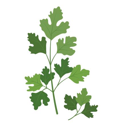 Natur Bio-Gemüse Koriander Koriander, gesunde Vektor bunte Lebensmittel Gemüse Gewürzzutat.