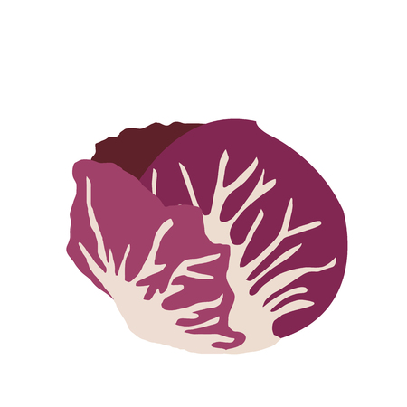 Nature organic vegetable Radicchio, healthy vector colorful food vegetable spice ingredient. Illustration