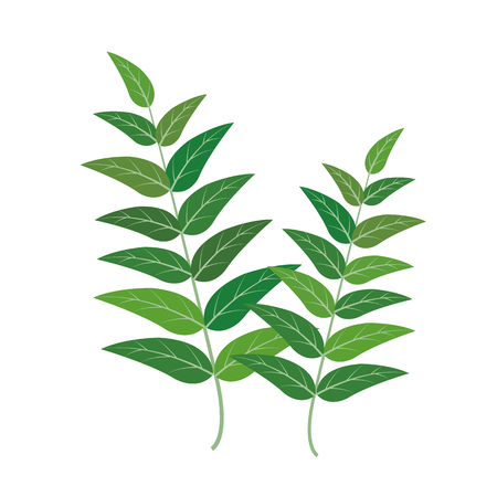 Nature organic vegetable Curry leaf, healthy vector colorful food vegetable spice ingredient.