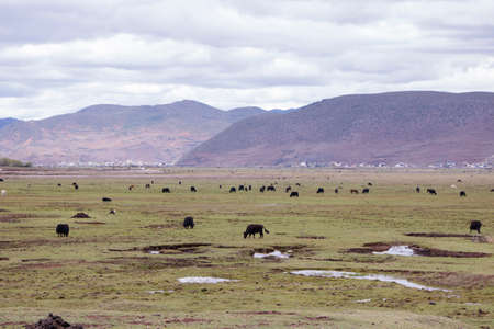 Meadow steppe wild yak surrounding by mountain cloudy weather, Shangri La, Yunnan Province, China 写真素材