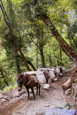 Mule carring heavy sand bags walking on the Mountain trail in Shangri La, Yunnan Province, China 写真素材